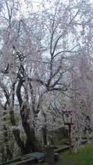 アントニオ小猪木 公式ブログ/山形の枝垂れ桜 画像1