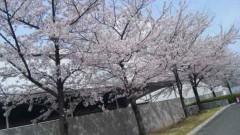アントニオ小猪木 公式ブログ/米子の桜 画像1