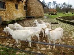 アントニオ小猪木 公式ブログ/ベルサイユにヤギも 画像1