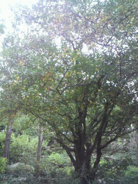2010年11月13日ドングリの木