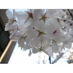 茶子 公式ブログ/桜咲きました! 画像2