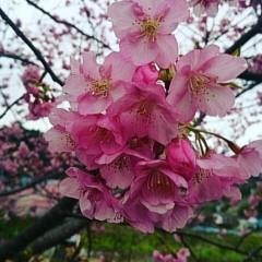 茶子 公式ブログ/早めのお花見 画像1
