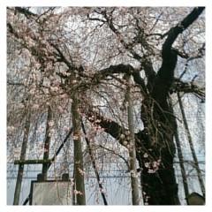 茶子 公式ブログ/今年2回目の花見 画像1