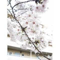 茶子 公式ブログ/桜咲きました! 画像1