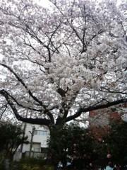 椎名鯛造 公式ブログ/桜。 画像1