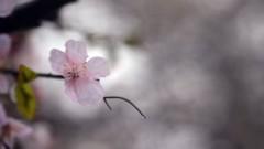 沖津賢一郎 プライベート画像/花 桜と雫  …てへっ