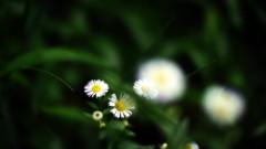 沖津賢一郎 プライベート画像/マイクロフォーサーズマスターへの道 貧乏草と呼ぶんじゃない。