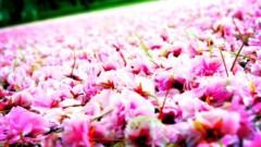 沖津賢一郎 プライベート画像/花 逆立ち花びら桜絨毯