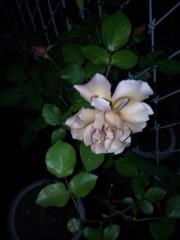 トリックマスターソラ バイオレット 公式ブログ/夜薔薇 画像3