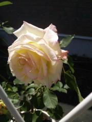 トリックマスターソラ バイオレット 公式ブログ/薔薇と海 ミニチュアピンシャー 画像1