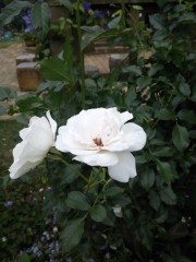 トリックマスターソラ バイオレット 公式ブログ/ローズフェスタ 薔薇癒されますね 画像1