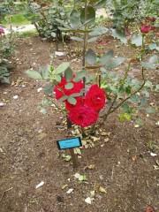 トリックマスターソラ バイオレット 公式ブログ/ローズフェスタ 薔薇癒されますね 画像3