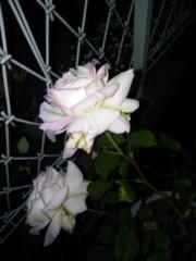 トリックマスターソラ バイオレット 公式ブログ/夜薔薇 画像2