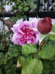 トリックマスターソラ バイオレット 公式ブログ/薔薇の日 語る花たち 画像1