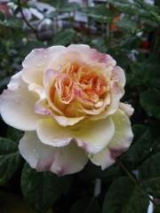 トリックマスターソラ バイオレット 公式ブログ/薔薇の日 語る花たち 画像3