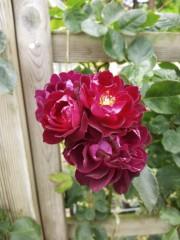 トリックマスターソラ バイオレット 公式ブログ/ローズフェスタ 薔薇癒されますね 画像2