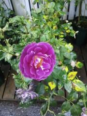 トリックマスターソラ バイオレット 公式ブログ/薔薇の日 語る花たち 画像2