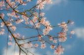 オーバービークル 公式ブログ/桜開花予想 画像2