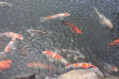 菱刈健人 プライベート画像 鯉がたっくさん!