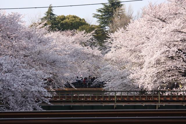 地元の川沿いに咲く桜