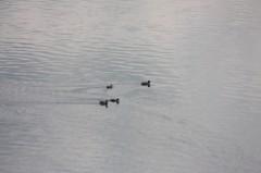菱刈健人 プライベート画像/〜旅の記録〜 ?9 ダム湖を泳ぐ鴨さんたち