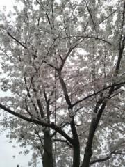 辻昌子 公式ブログ/桜が散ってしまう〜 画像3