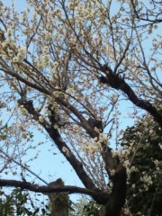 辻昌子 公式ブログ/梅が空に映える 画像1