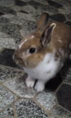 成嶋ミサキ 公式ブログ/たけし君(ウサギ)写真 画像1