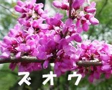 小川賢勝 公式ブログ/ムスカリ� 画像1
