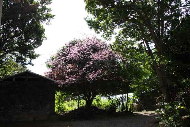 IMG_4975桜
