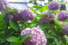 UNA(ナナカラット) 公式ブログ/あじさいが咲いてるよ♪ 画像1