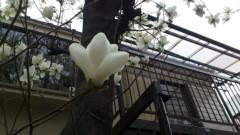 川井つと 公式ブログ/木蓮 画像2
