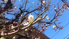 川井つと 公式ブログ/梅の花が咲きました 画像1