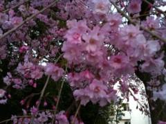あずな 公式ブログ/枝垂れ桜 画像2