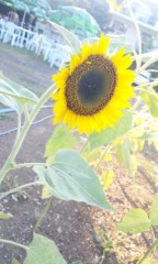 野原みのり 公式ブログ/代官山に咲く向日葵! 画像1