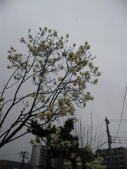 麻倉未稀 公式ブログ/咲き始めました。 画像1