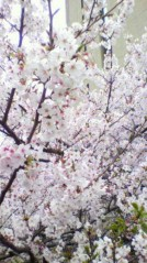 奥山あゆみ 公式ブログ/桜とスペイン料理♪ 画像1