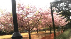 奥山あゆみ 公式ブログ/桜咲く♪ 画像1