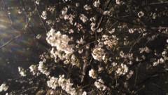 井上あかね 公式ブログ/桜咲く 画像1