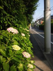 佐藤太三夫 公式ブログ/ 凄い 伸びてる 紫陽花 画像2