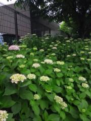 佐藤太三夫 公式ブログ/紫陽花  雨が降る 画像2