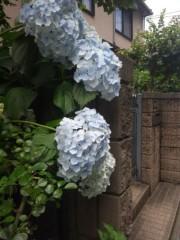 佐藤太三夫 公式ブログ/アイスブルーの紫陽花  画像1