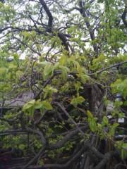 佐藤太三夫 公式ブログ/家の前にある、柿の木です。 画像2