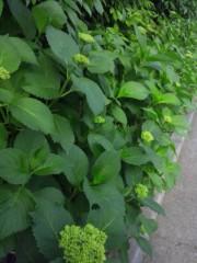 佐藤太三夫 公式ブログ/紫陽花の芽が 画像1