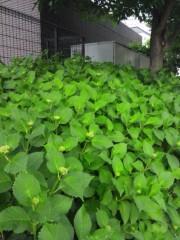 佐藤太三夫 公式ブログ/今年も紫陽花 画像3