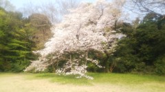 佐藤太三夫 公式ブログ/地面に着いてる桜の木と松の木 画像1
