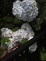 佐藤太三夫 公式ブログ/アイスブルーの紫陽花  画像2