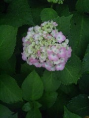 佐藤太三夫 公式ブログ/紫陽花 画像3