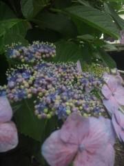 佐藤太三夫 公式ブログ/額紫陽花 画像3