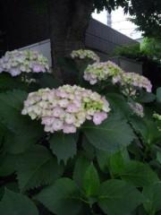 佐藤太三夫 公式ブログ/色づいた 紫陽花 画像3